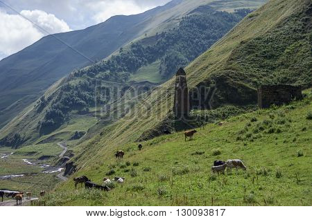 Caucasus Mountains, Canyon Of Argun. Road To Shatili With Ancient Watchtower And Cows, Gorgia, Europ