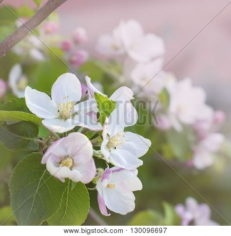 Beautiful Pink Apple Flowers In Close Up