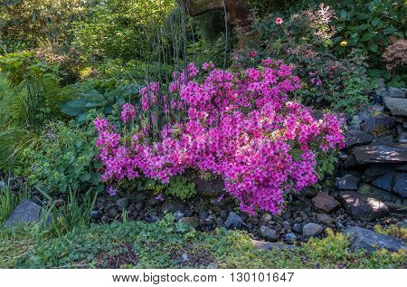 Radiant pink Azalea flowers stand out near an empty stream bed.