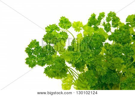 Leaves of parsley isolated on white background.Fresh green leaf  parsley.Isolated on white background