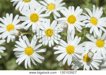 Flora Of Gran Canaria - Argyranthemum Adauctum, Canarian Marguerite Daisy