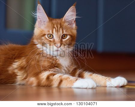 Portrait of domestic red Maine Coon kitten, 3 months old
