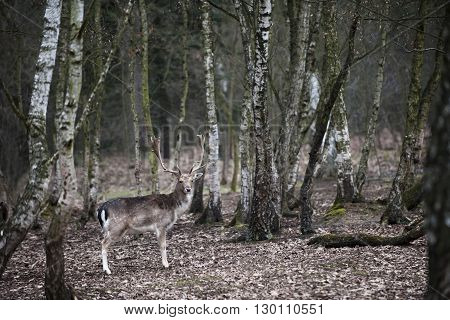 Deer in the forest look at the cam