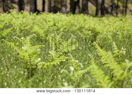 Flora Of Gran Canaria - Pteridium Ferns