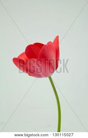 Stock photo-pink tulip isolated on white background