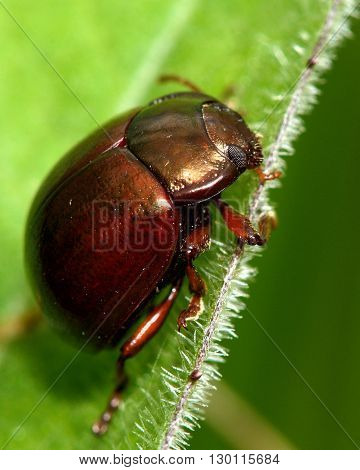Chrysolina staphylaea leaf beetle. A locally distributed beetle in the family Chrysomelidae, found in a British meadow