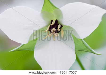 Close up of a trillium flower commonly found in the forest in the spring.