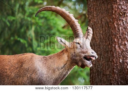 Portrait of a cute Ibex laughing in the Alps