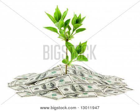 Dinheiro e planta