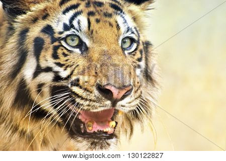 Beautiful angry face of Royal Bengal Tiger Panthera Tigris West Bengal India . It is largest cat species and endangered only found in Sundarban mangrove forest of India and Bangladesh.