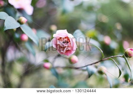 Beautiful soft pink flower with a bee which produces pollen. Spring paradise. The burgeoning rose.