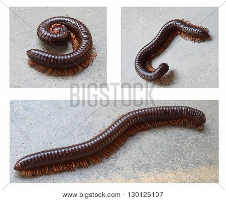 Closeup of millipede crawling on the floor