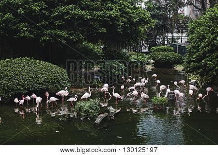 A flock of pink flamingos in a beautiful conservation area. On the background of green trees and bushes .