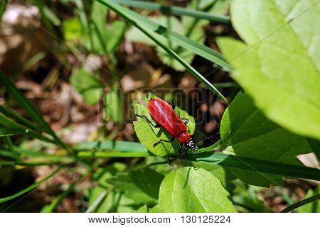 Close-up of black headed cardinal beetle (Pyrochroa coccinea) on a green leaf