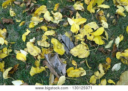 Fallen yellow leaves litter a yard in Joliet, Illinois during November.