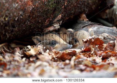 Striped wild boar piglets peeking from leaves