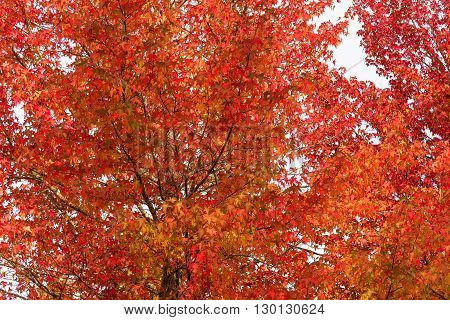 Autumn leaves texture of maple tree. Red foliage of fall season background wallpaper. Looking up the tree canopy