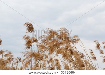 Beautiful Reeds On A Background Of Beautiful Blue Sky With White Blocks