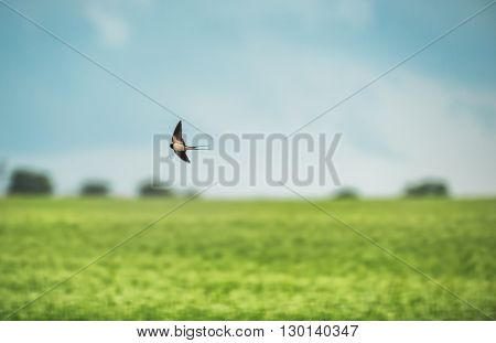 swallow in flight over the green field