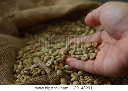 Hand picking raw coffee beans in gunny sack
