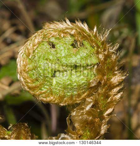 Young curly leaf of fern growing through the fallen leaves macro selective focus shallow DOF