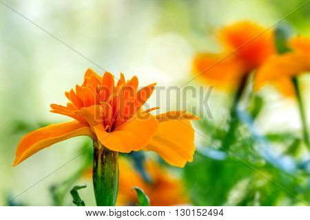 Carroty Marigold