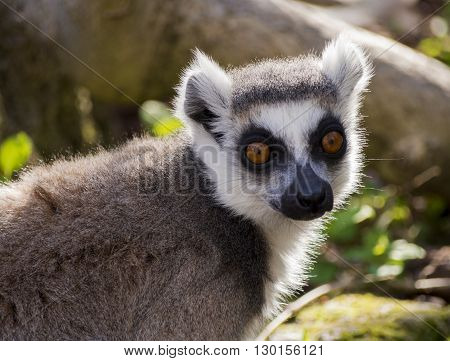 Portrait of lemur with backlit sunset light