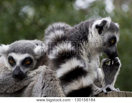Reposing lemurs watching each on each side
