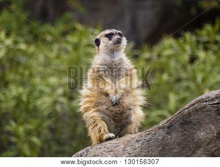 Watching meerkat sitting atop a wooden trunk