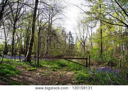 Countryside Walk With Bluebells Along The Path