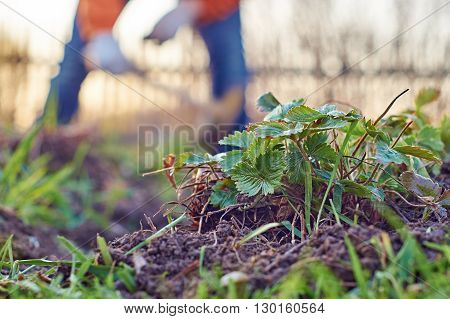 Leaves of strawberry in the foreground and woman weeding garden beds in the background