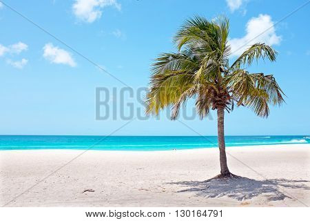 Palm tree on the beach at Palm Beach on Aruba island in the Caribbean
