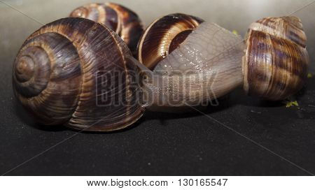 Snail with dark body gliding. Very short depth of focus. Latin name: Arianta arbustorum