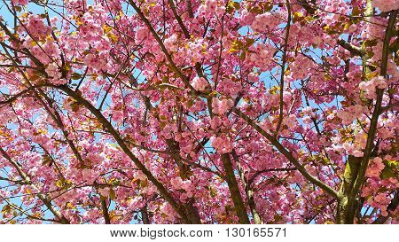 Beautiful flowers of japanese cherry blossom - Prunus serrulata tree flowers