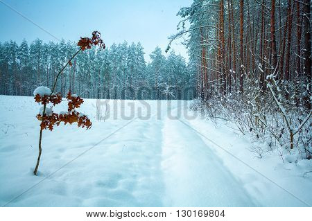 Snow-covered road along a pine forest  in backgrounds