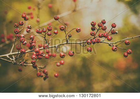 Hawthorn red berries in nature, autumn seasonal vintage background