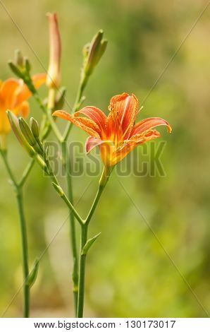 Orange lilly flowers growing in nature, floral holiday sunny background