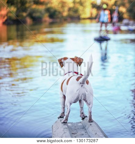a cute jack russell terrier enjoying the river outdoors on a summer day toned with a retro vintage instagram filter effect - shallow DOF FOCUS on the back part of the butt