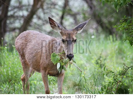 a cute deer grazing in a local park on a branch of leaves - shallow DOF FOCUS on the eyes
