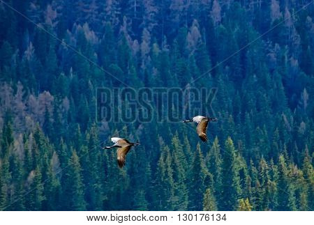 Demoiselle crain - Anthropoides virgo flying on a blue forest background. Altay mountains Siberia Russia.