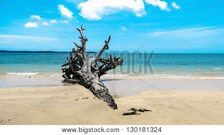 2004 Indian Ocean Tsunami uprooted tree at Andaman Beach, Wandoor, Port Blair, Andaman and Nicobar Islands, India, Asia.