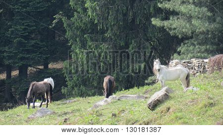 A group of horses eating grass in a field with trees in background on a hill.