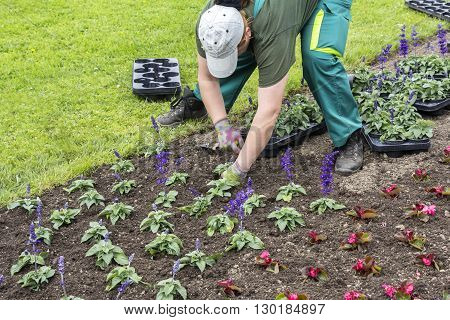 Gardeners hands planting flowers at city park