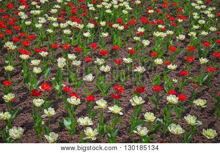 Colorful opened tulips flowers in springtime. Tulips field Background