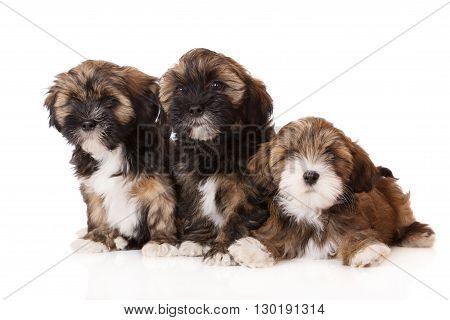 three adorable lhasa apso puppies on white