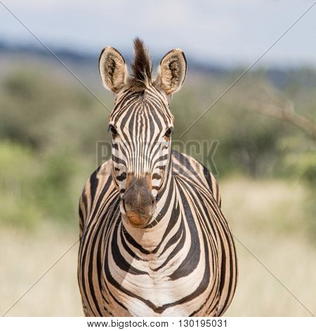 A face-on portrait of a Burchell's Zebra standing in Southern African savannah