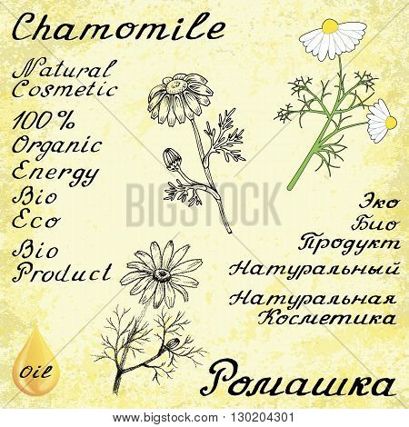 Chamomile . Vector set of 3 drawing and hand-lettering. English and Russian texts. Eco Friendly. For labels flyers online stores. Natural cosmetic. Bio products. Botanical sketch