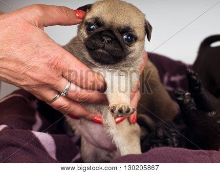 Pug puppies portrait on human hands standing on tiptoe