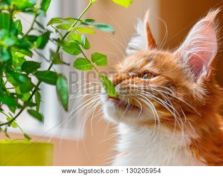 Portrait of domestic red Maine Coon kitten with green leaf, 3 months old