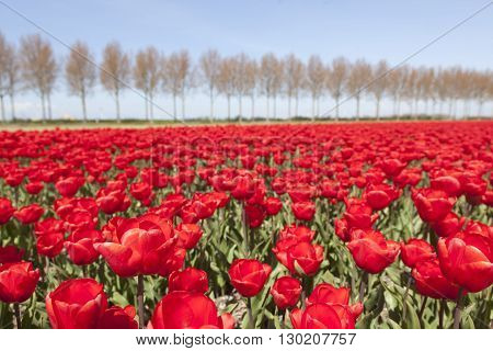 vivid red tulips in dutch noordoostpolder in the province of flevoland flower field with trees and blue sky in the background